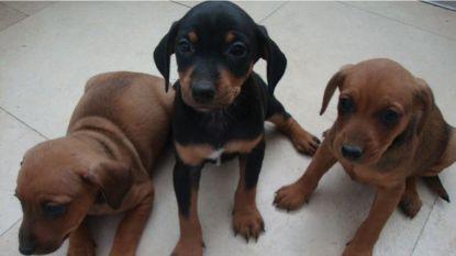 Dieven doden moederhond Luna (3) en nemen haar 10 pups mee in Nederlandse Beers