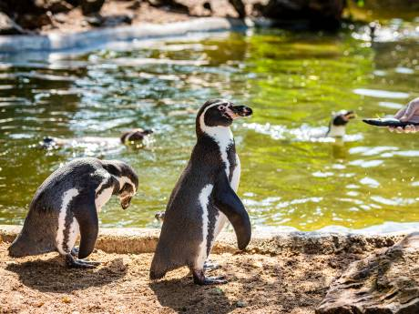 Pinguïnjong én ouders blij met terugkomst Avifauna: 'Maar we houden hem nog even apart voor onderzoek'