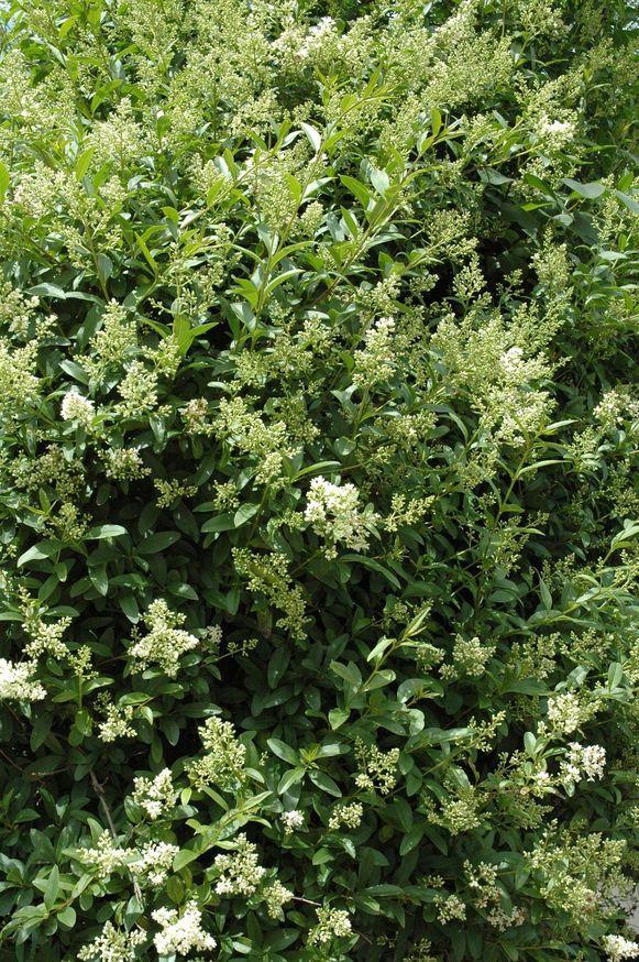 Een haag is een tuin op zich, zeker als je ze in bloei laat komen, zoals liguster (foto) of Portugese laurierkers
