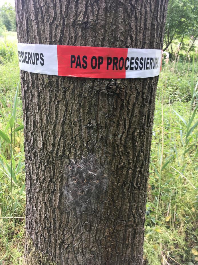 De eikenprocessierups zit in veel bomen in Zeewolde.