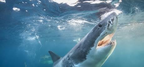 Man overlijdt na aanval haai in Australië