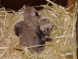 Cheeta-tweeling geboren in Safaripark Beekse Bergen