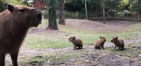 Vier pinguïns, drie rode reuzenkangoeroes en drie capibara's: geboortegolf bij ZooParc Overloon