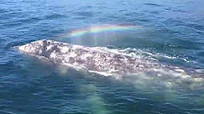 Walvis spuit regenboog