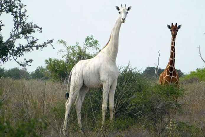 Archieffoto van een witte giraffe.