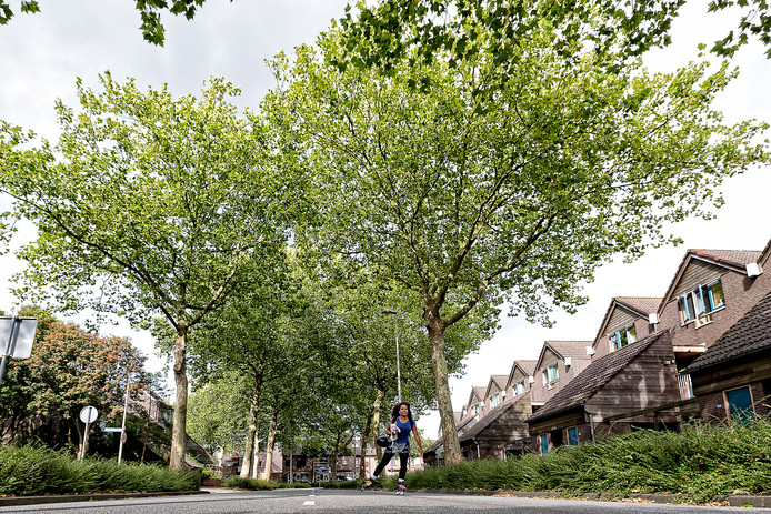 Een paar jaar geleden was er in de Zoetermeerse wijk Segwaert ook een discussie over platanen. Foto ter illustratie.