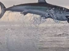 Le saut record d'un grand requin blanc à plus de quatre mètres de haut