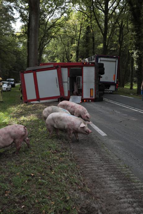 Veetransport kantelt in Ommen, 20 varkens omgekomen