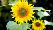 """CD&V deelt zonnebloempitten uit: """"Maak van Schelle 'zonnebloemdorp'"""""""