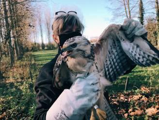 """Vogelopvangcentrum laat buizerd vrij in Hofstade en doet oproep: """"Zet geen prikkeldraad in natuurgebied, te veel dieren raken erin verstrikt"""""""