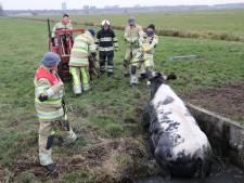Koe in De Meern met shovel uit ijskoude sloot gehaald