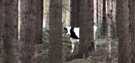 Wie mist een koe? Op de Lemelerberg loopt er een