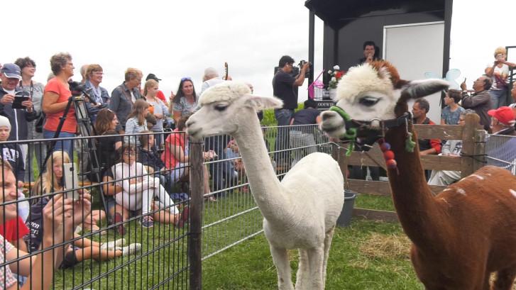 'Hevig verliefde' alpaca's geven elkaar het ja-woord