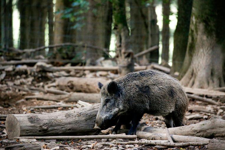 Een everzwijn in een bos nabij Saint-Hubert (provincie Luxemburg). Foto ter illustratie.