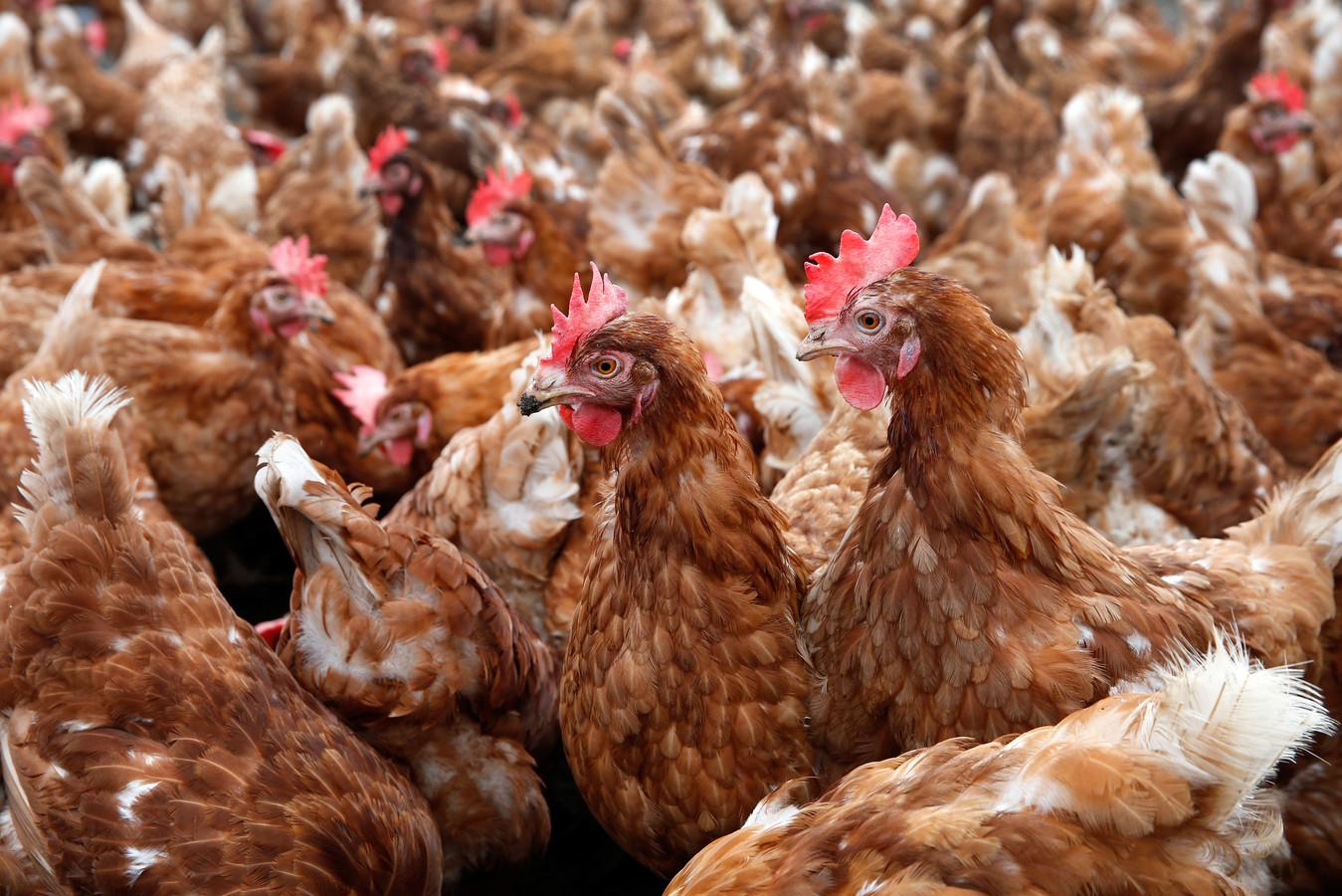 De kippen mogen er komen in Winssen. Foto is ter illustratie.