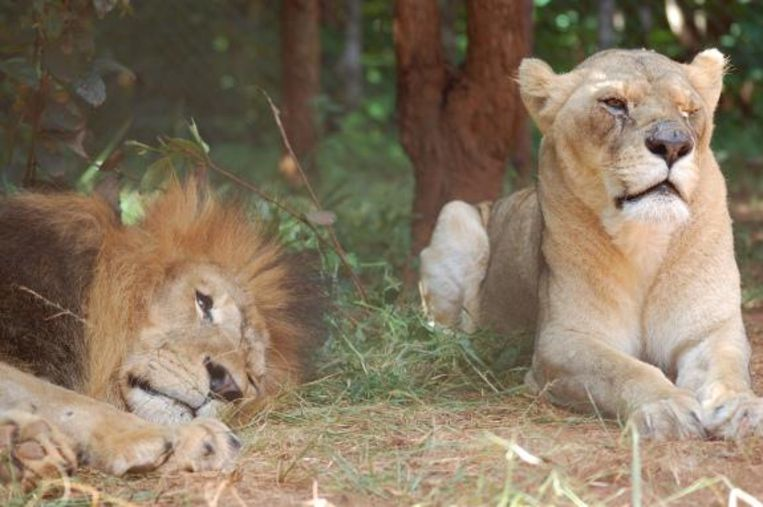 Simba en vriendinnetje Bella samen in Malawi, waar beide leeuwen zijn ingeslapen.