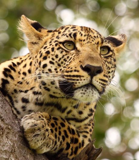 Vader van verscheurde peuter: Courtney hing bloedend tussen kaken van luipaard