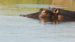 Meer dan 100 dode nijlpaarden aangetroffen in rivier in Namibië