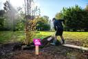 Burgemeester Marijke van Beek schept aarde op de wortels van de Wijchense 'coronaboom'.