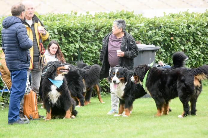 Yvonne Kuijpers houdt Berner Sennendag. Zo'n 50 honden van dit ras heeft zij aan een nieuw baasje/bazinnetje geholpen