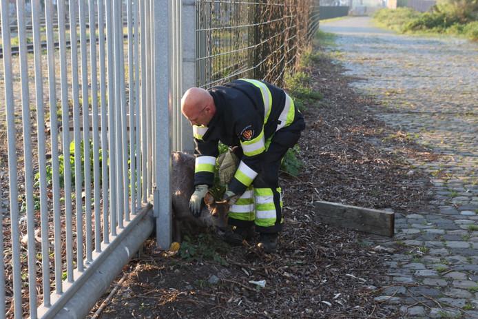 Voorzichtig wordt het dier uit het hek bevrijd.