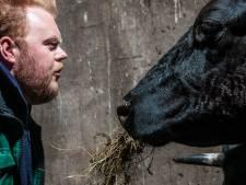Maalkop: man en koe over een onafwendbaar einde
