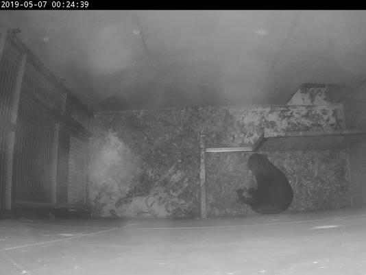 De jonge Maleise beren in de kraamkamer in Burgers' Zoo in Arnhem.