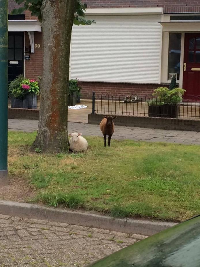De lammetjes werden op straat in de buurt van de wei gevonden.