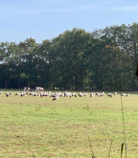 Meer dan honderd ooievaars voelen zich kiplekker boven Enschede