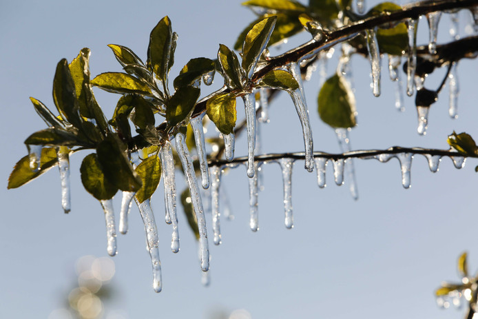 Een laag ijs beschermt de bloesemknoppen van fruitbomen. De telers voorkomen zo dat nachtvorst de knoppen beschadigt. Archieffoto ANP