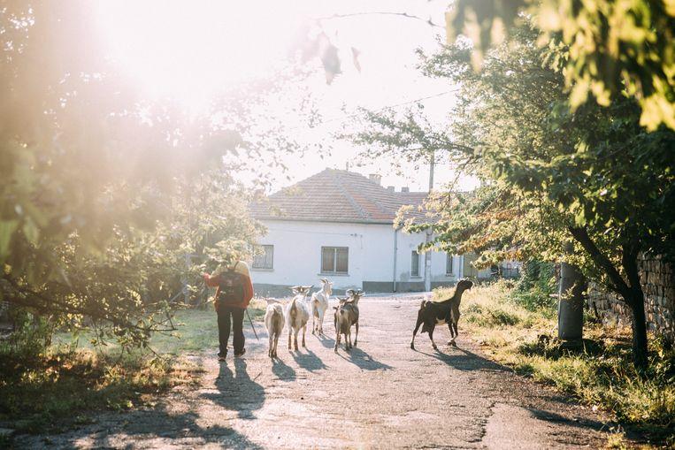 Geiten in de ochtendzon in Luti Brod. Iedere dag gaat iemand anders met alle geiten uit het dorp de bergen in. Beeld Marlenan Waldthausen