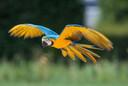 Ara Freddy in Volle vlucht. ,,Zo'n vogel leert zich te gedragen als een vogel. Hij kan vliegen, zo ver hij wil en waar hij wil'', zegt baasje Nick Buitendijk.