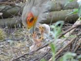 Safaripark Beekse Bergen verwelkomt drie secretarisvogeltjes