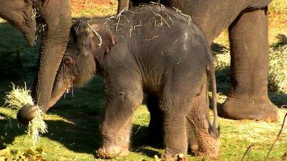 Schattig: pasgeboren olifantje laat zich voor het eerst zien in Amerikaanse zoo
