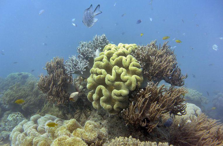 Koraal op het Groot Barrièrerif verbleekt door opwarming van het zeewater.  Beeld afp