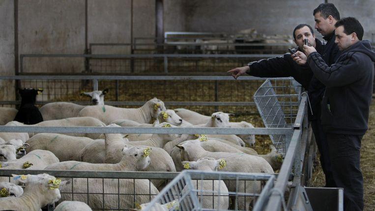 Klanten zoeken schapen uit bij Slager Van Hattem in Dodewaard. Beeld ANP