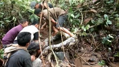 VIDEO. Dorpelingen vangen enorme python van acht meter met hun blote handen