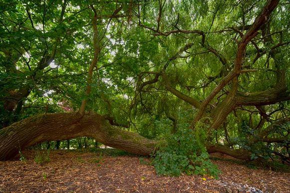 De sjùnste boom van Hoeselt