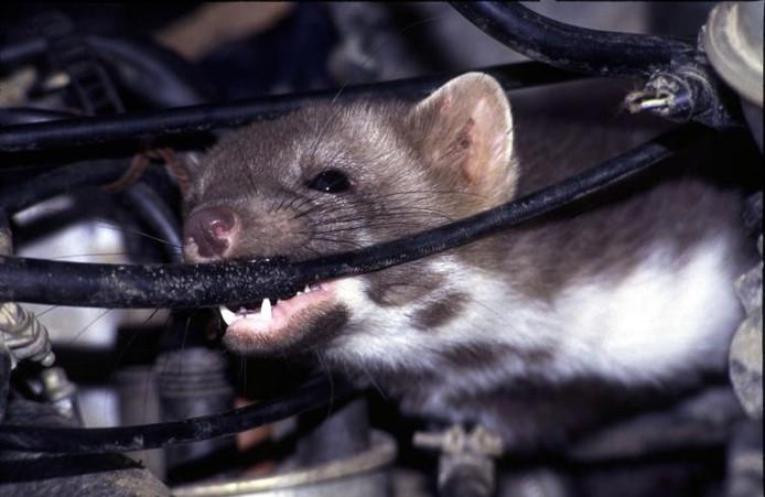 Een steenmarter die de kabels van een auto aanvreet.