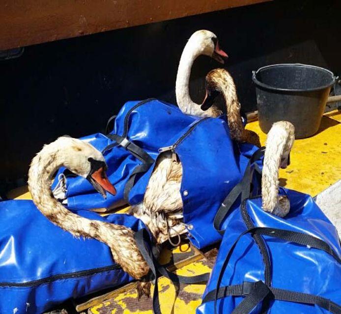 Met olie besmeurde zwanen zijn uit de Petroleumhaven gered.