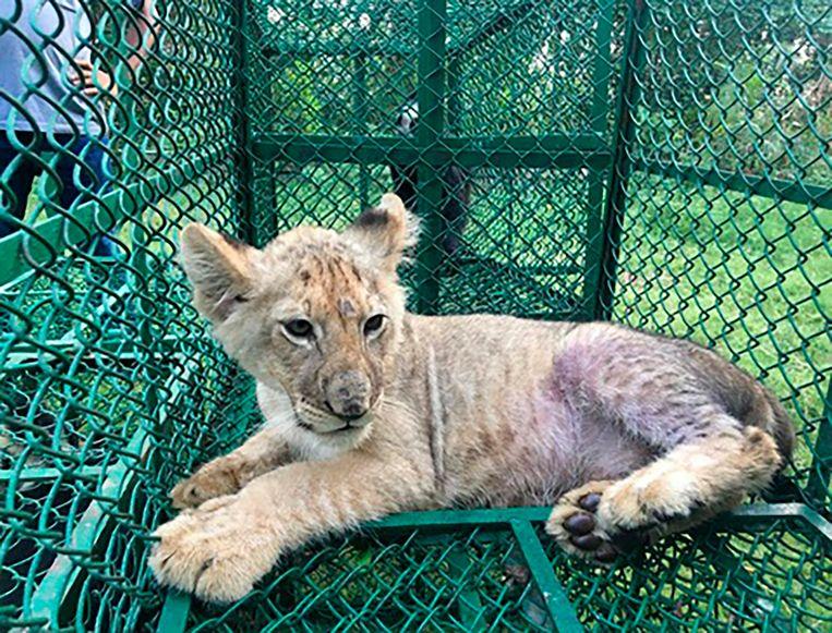 Eén van de beelden vrijgegeven door Interpol: dit leeuwenwelpje werd ontdekt door de douane in India. Het was vanuit Bangladesh onderweg naar het Verenigd Koninkrijk.