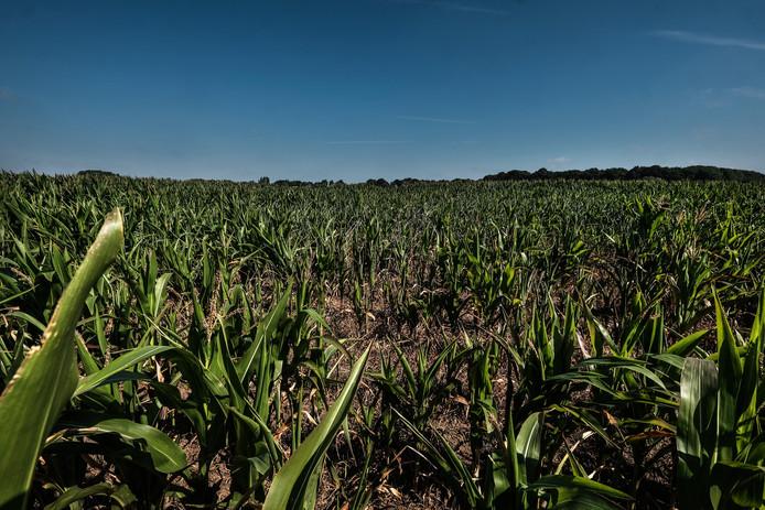 Het maisveld van Henk Jolink.