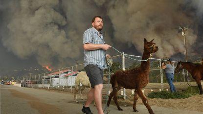 IN BEELD. Ook (huis)dieren zwaar getroffen door nietsontziende vuurzee in Californië