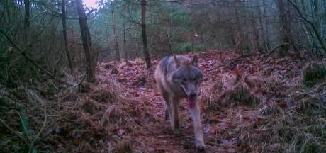 Wolf officieel niet meer alleen op de Veluwe: mannetje laat zijn oog definitief vallen op Drenthe