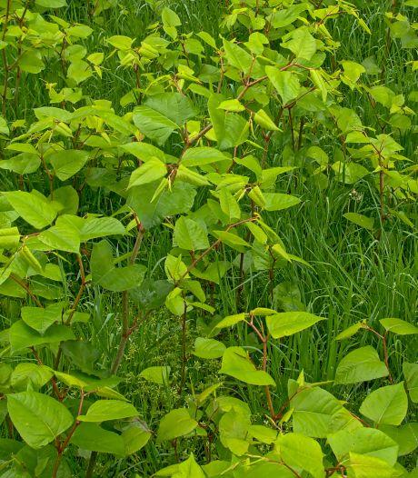 Waterschap Aa en Maas: stroom op wortel Japanse duizendknoop