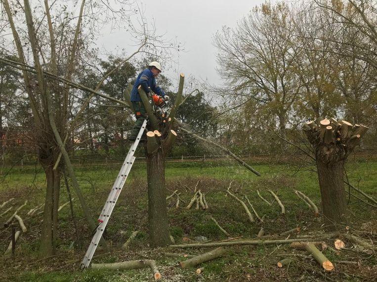 De vrijwilligers van Natuurpunt onderhouden de knotbomen aan de Broeklei.