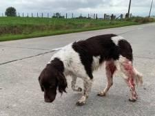 Hond met schotwonden gevonden bij Franse grens: 'Vermoedelijk weggejaagd door jagers'