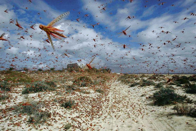 Sprinkhanenplaag op de Canarische Eilanden.  Beeld reuters