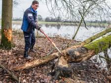 Bevers flink actief langs de Niers bij Gennep: waterschap haalt bomen weg
