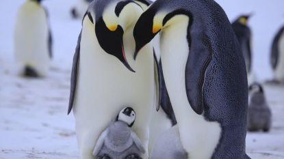 Pinguïn-homokoppel wil kuiken adopteren in Deense dierentuin